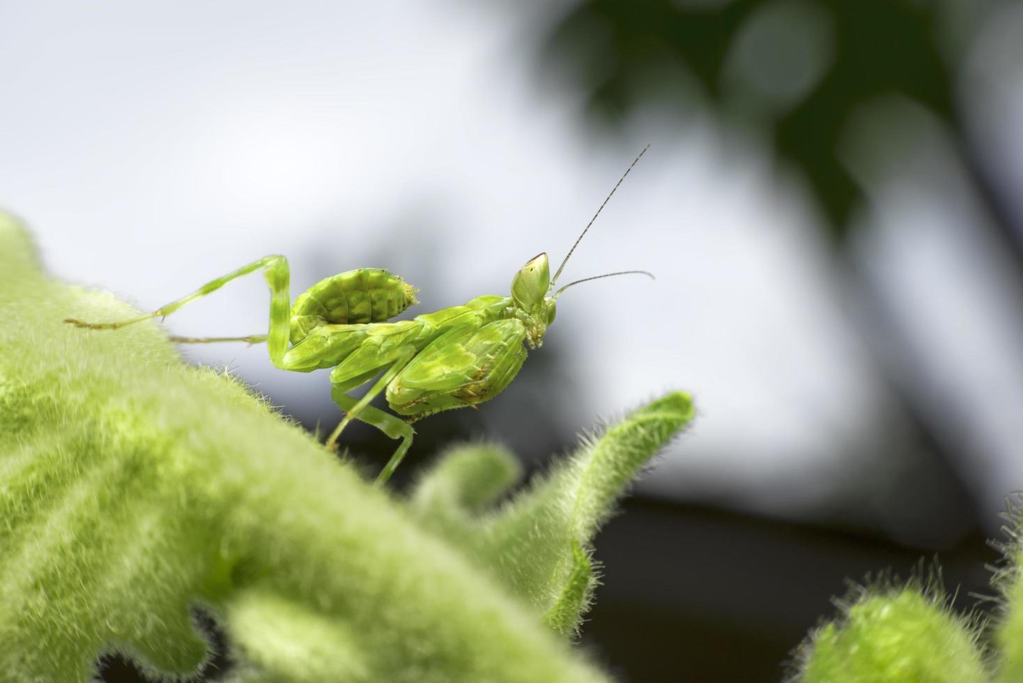 Green mantis on green leaf photo