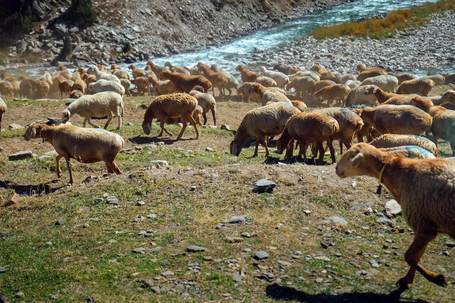 Herd of local sheep grazing near river photo
