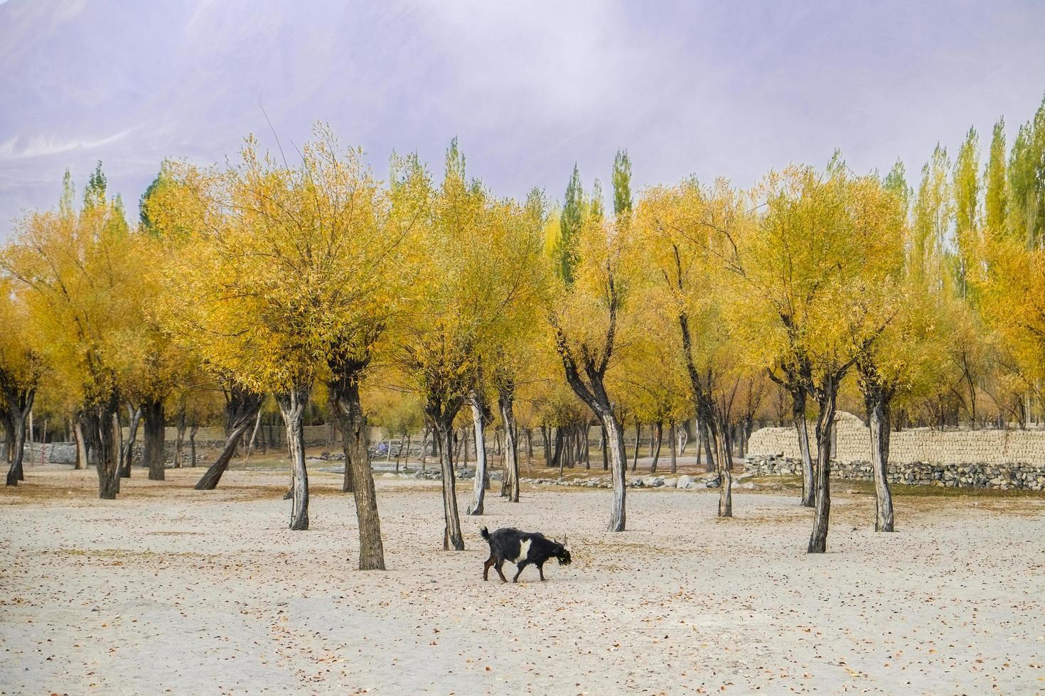 Yellow leaves trees in autumn season photo