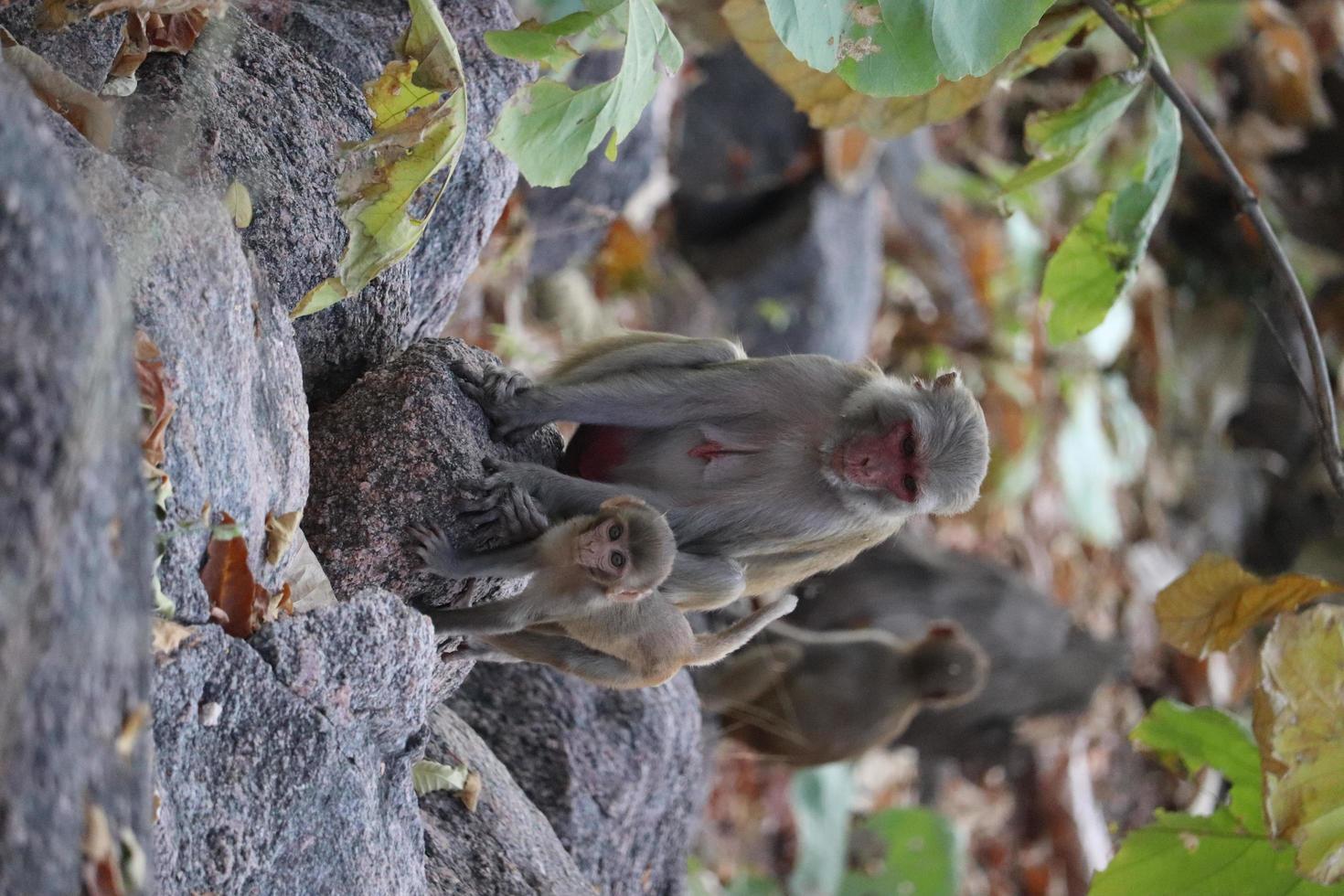 Adult and baby monkeys photo