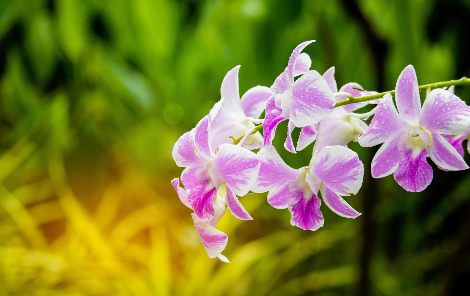 Orchids blooming on a green natural background photo