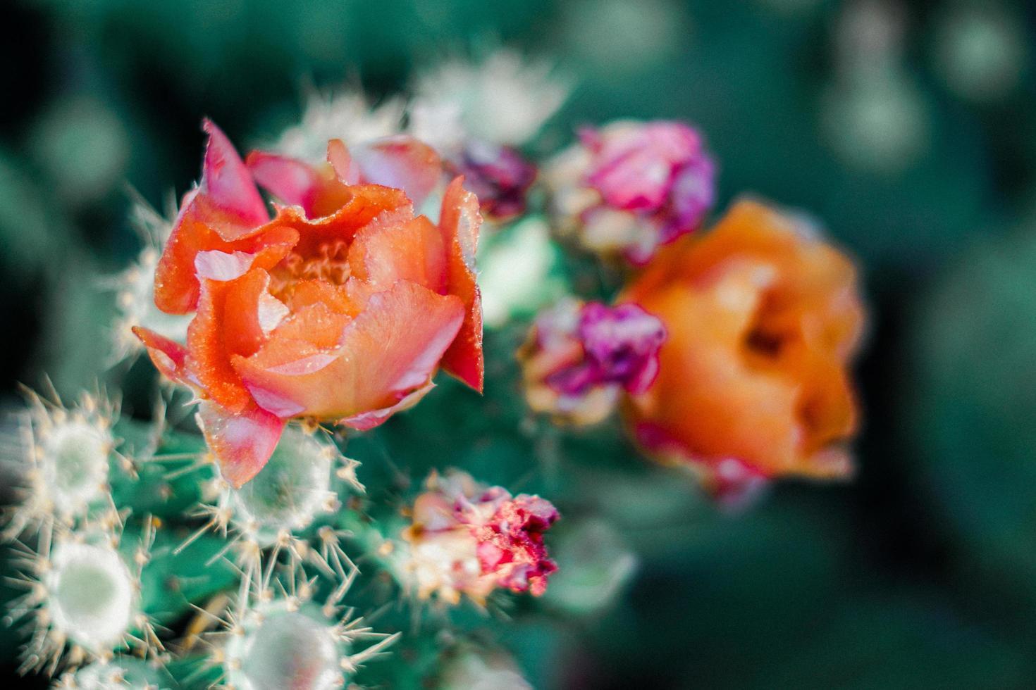 Orange and pink flowers on cactus photo