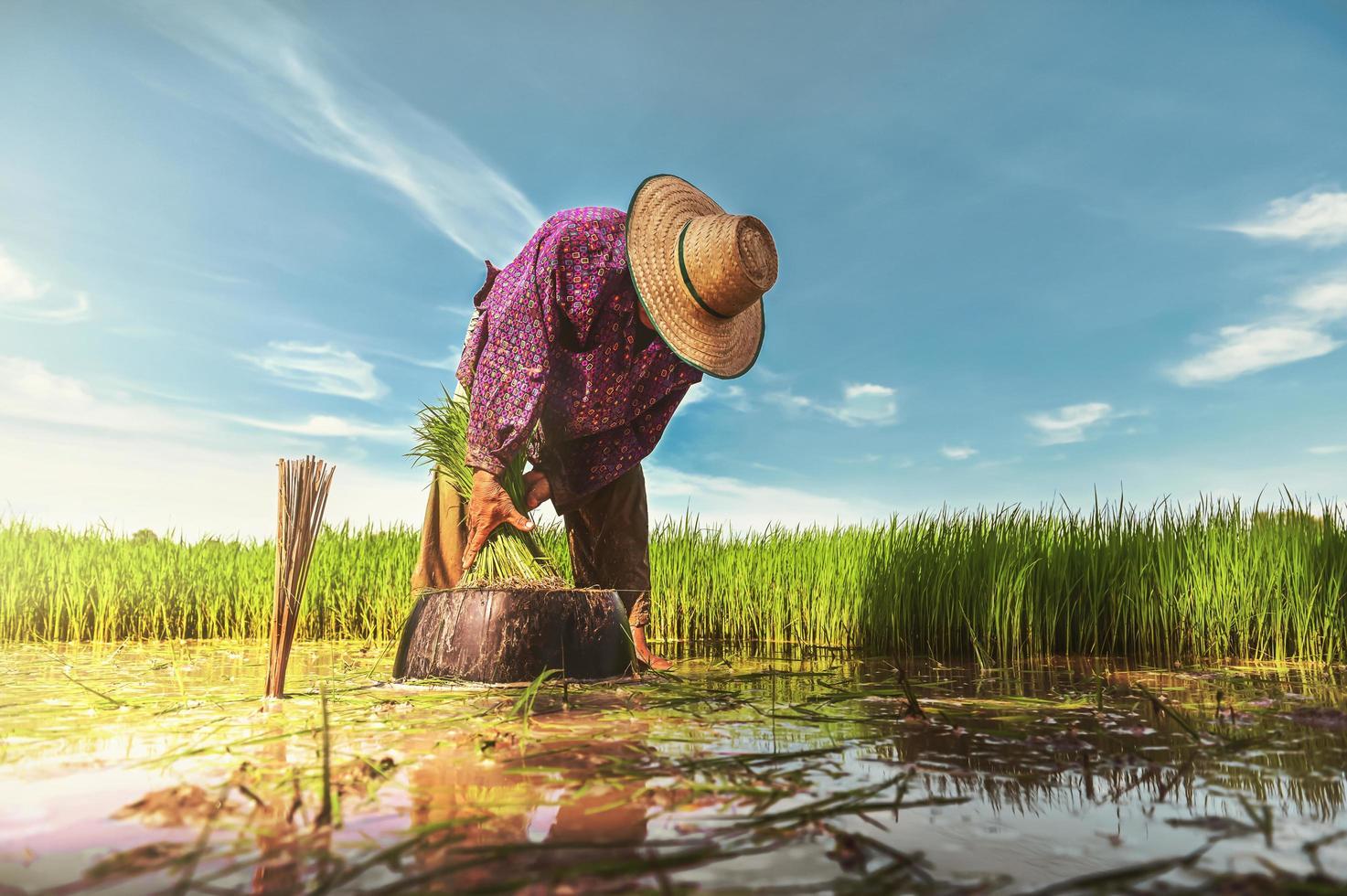 persona plantando en campo de arroz foto