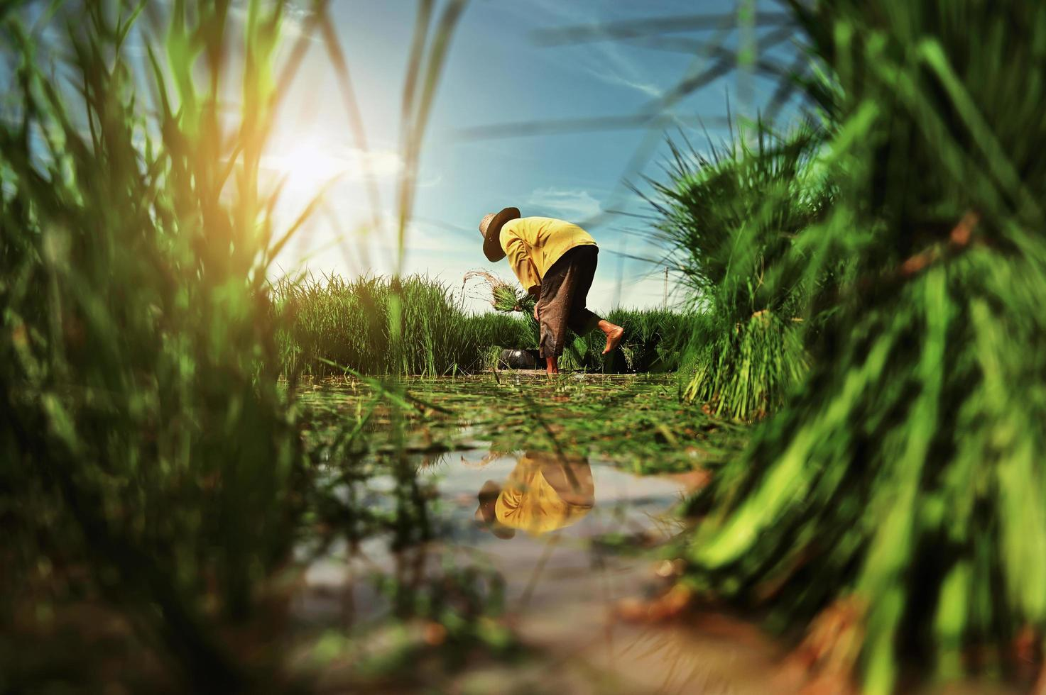Person planting in rice field photo