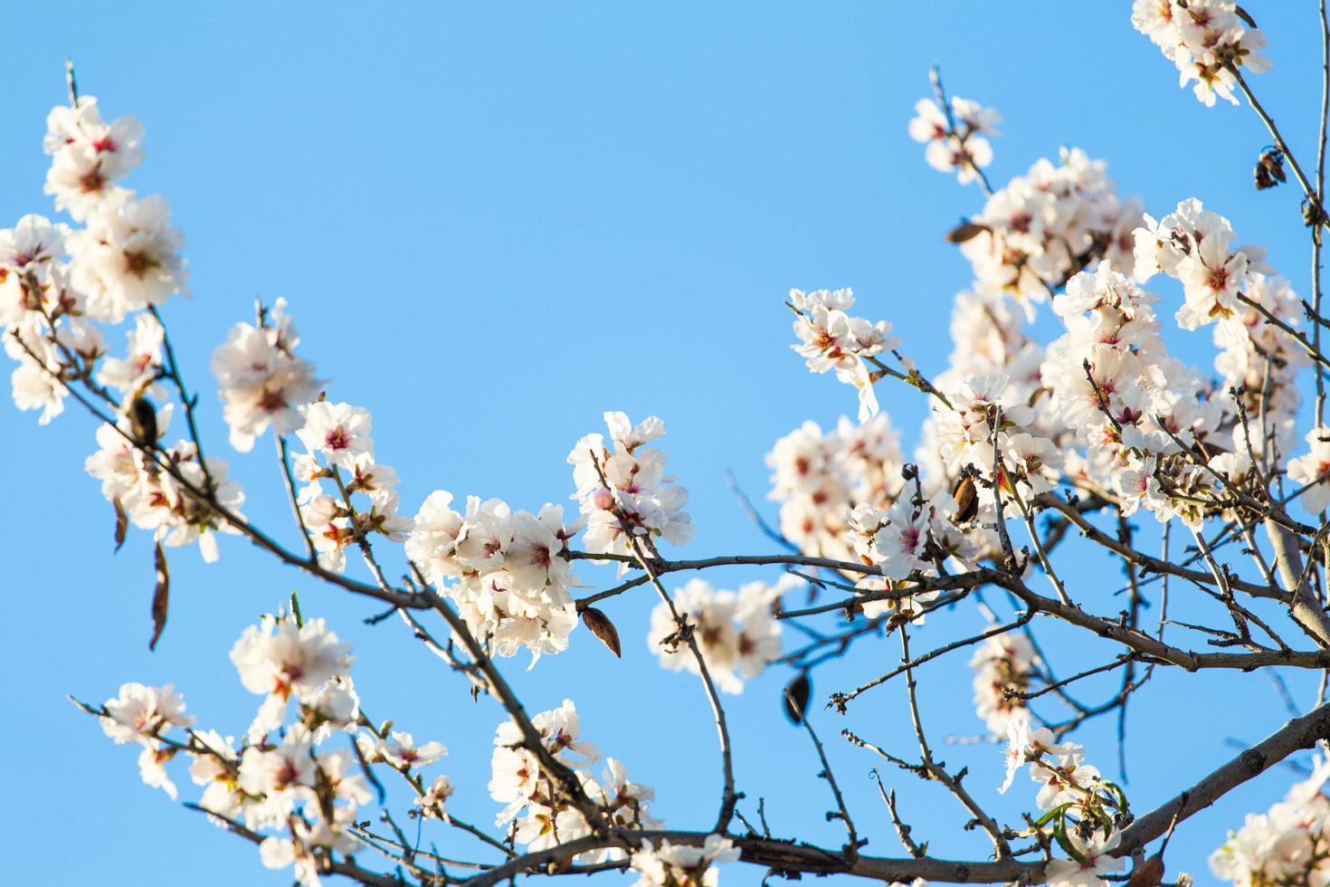 White cherry blossoms photo