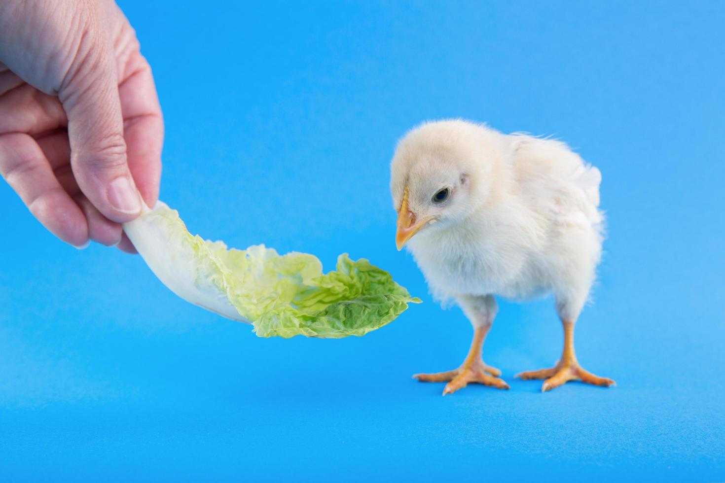 Small chick and lettuce on studio background photo
