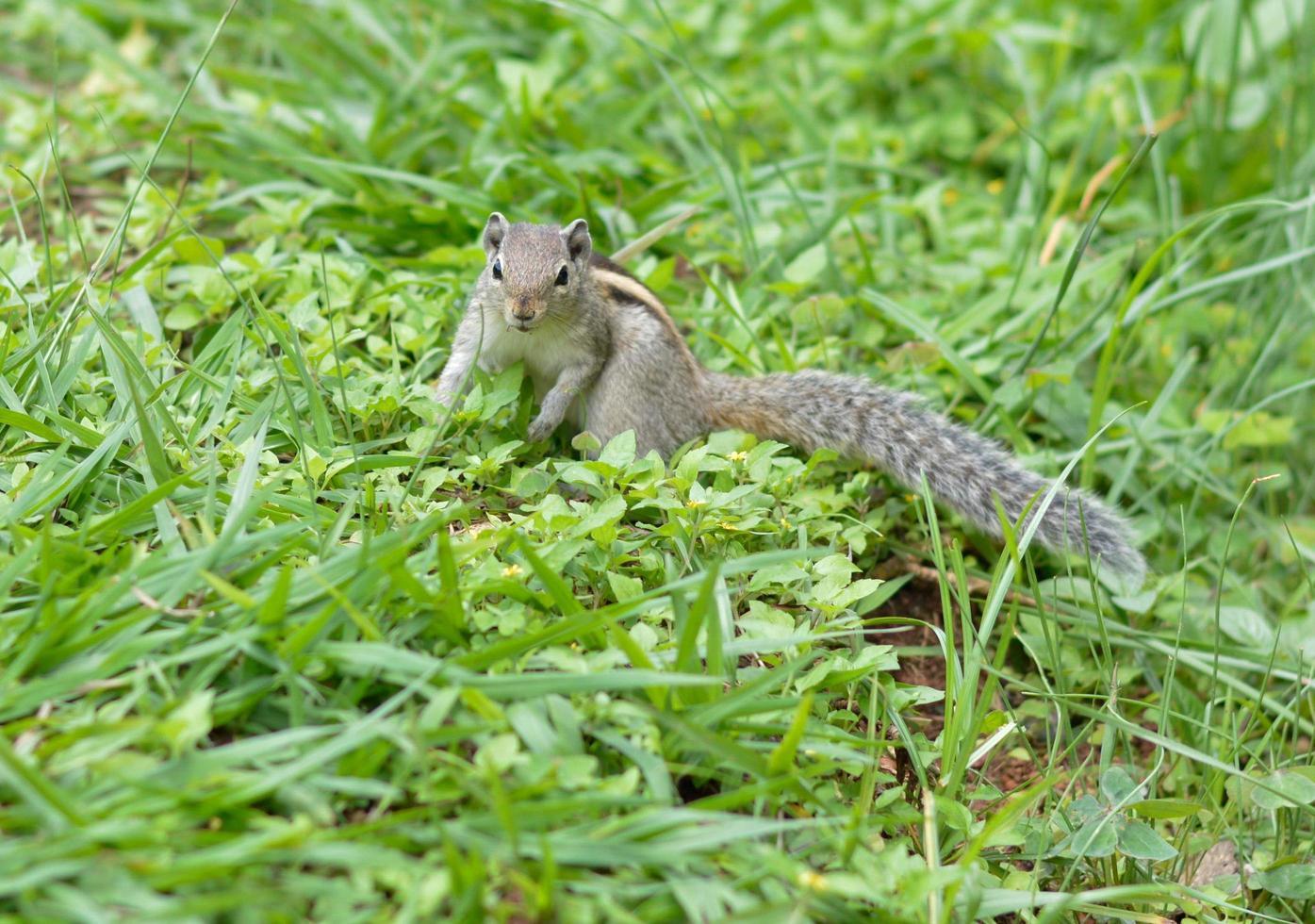 Squirrel on grass photo