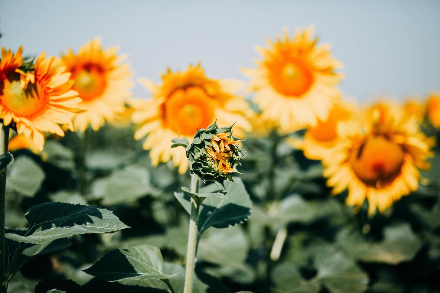 Close-up of a sunflower blossom photo