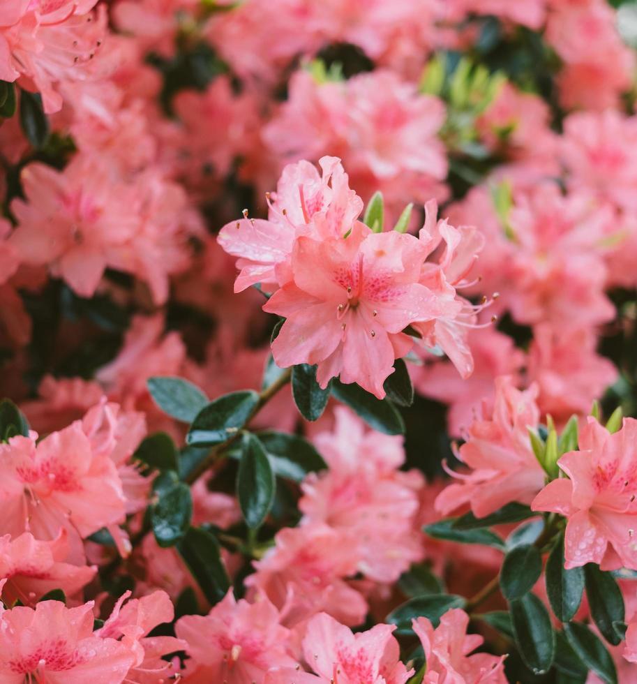 Pink flowers in tilt shift lens photo