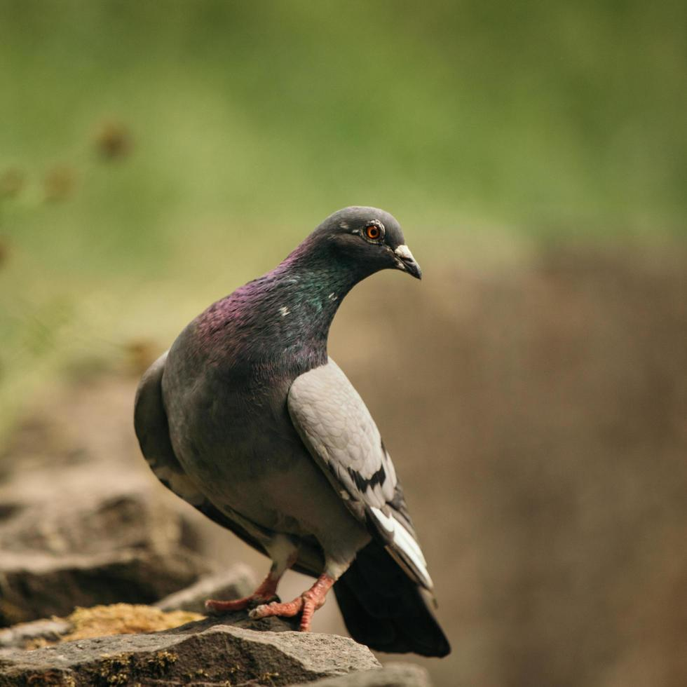 Curious pigeon on brown rock photo