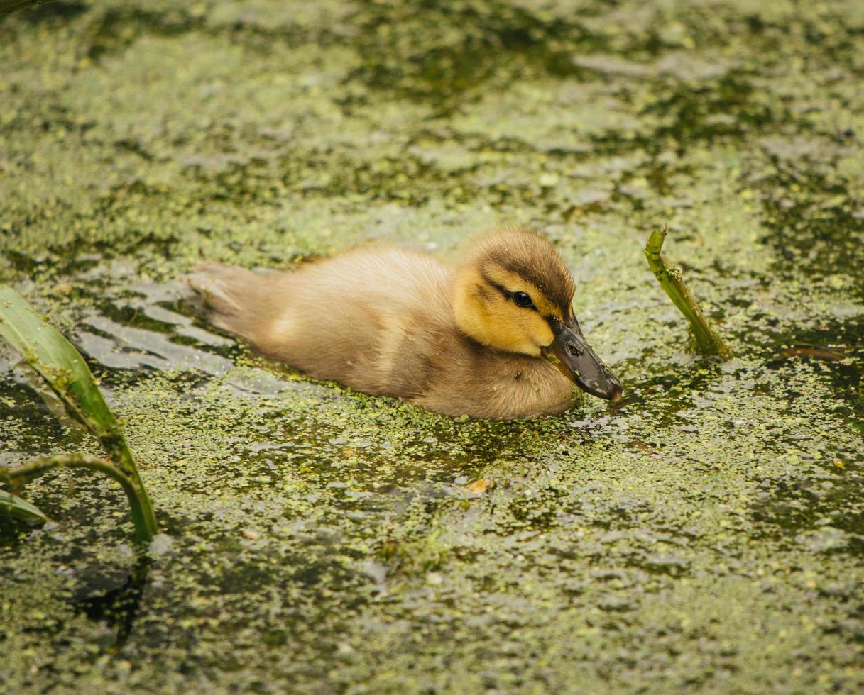 Brown duck on water photo