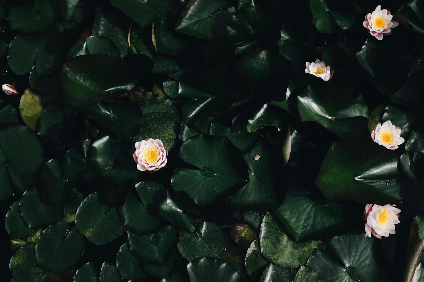 White lotus flower photo