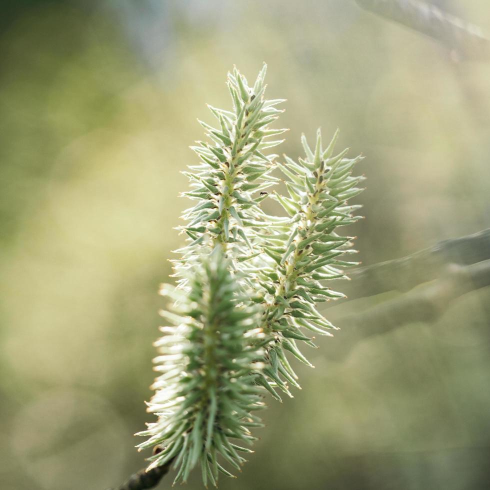 rama de pino foto