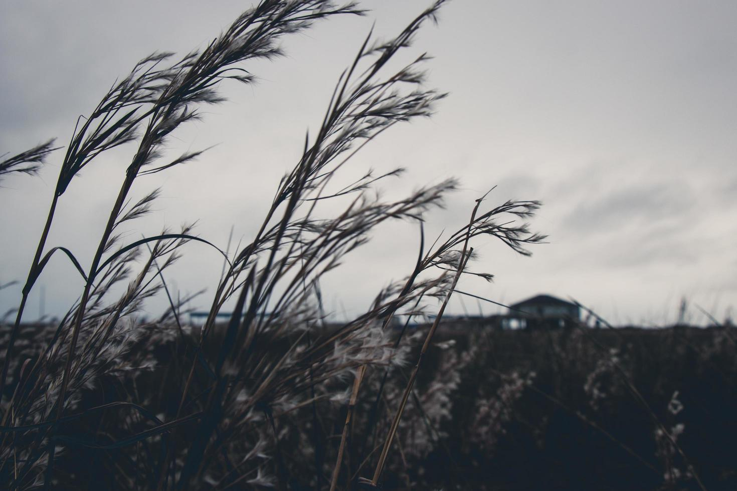 Tall feathered grass in a field photo