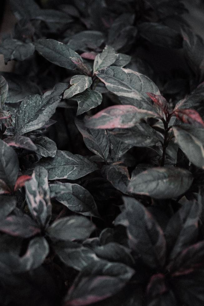 Red and green leafed plant photo