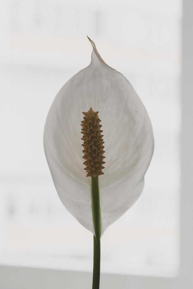 flor blanca pelada foto