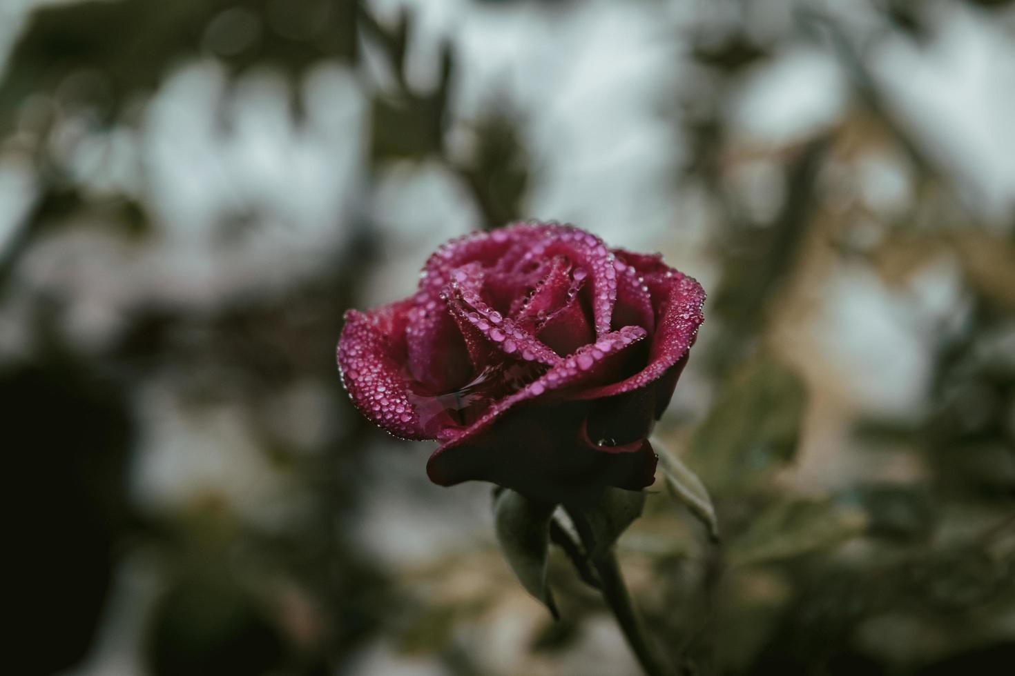 rosa roja con gotas de rocío foto