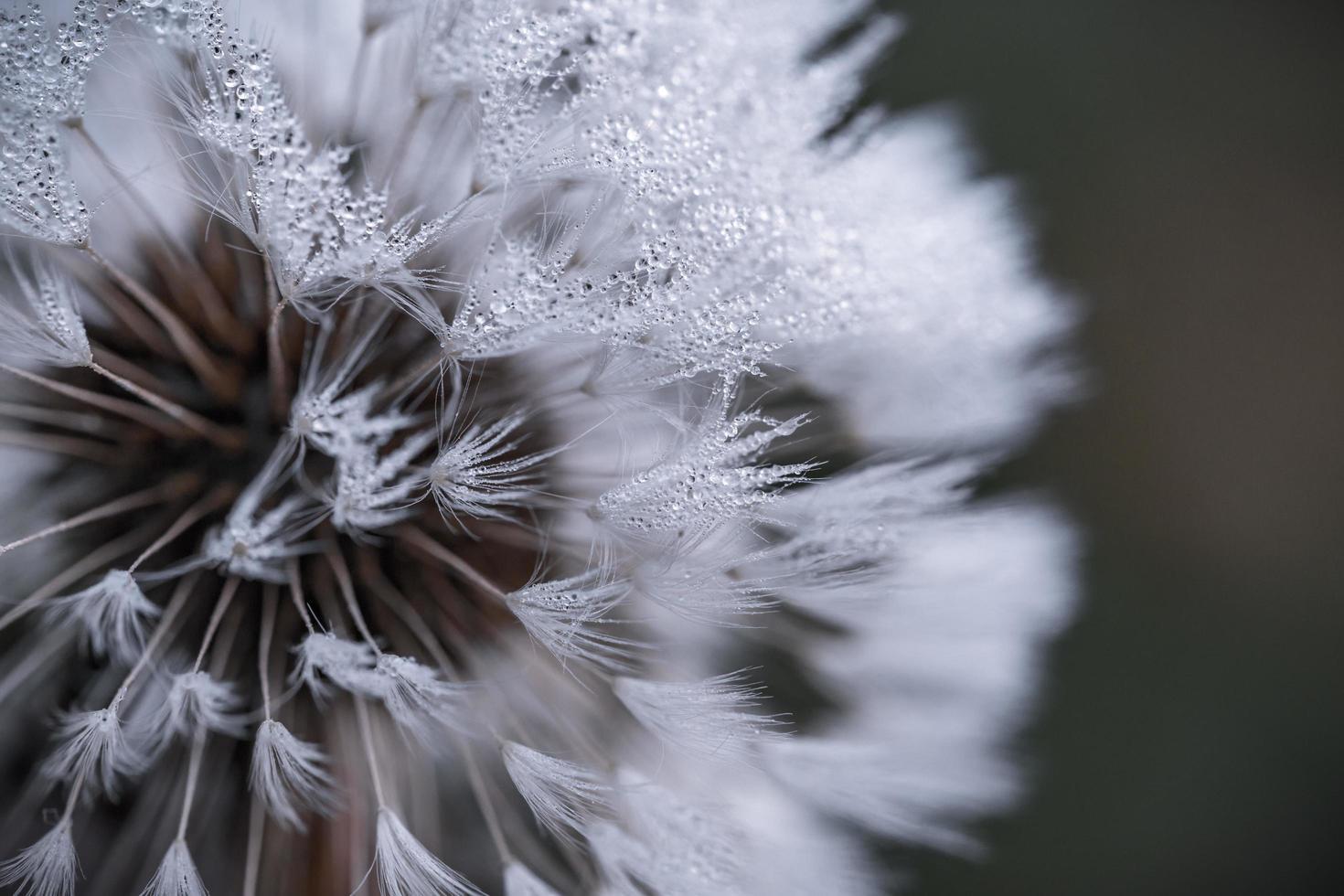 Dew drops on white flower photo