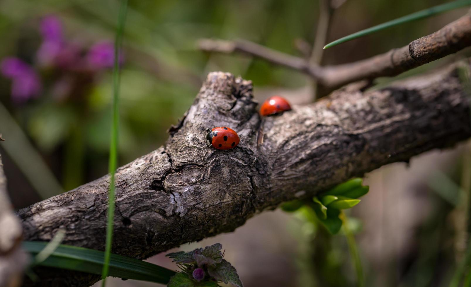 Two red ladybugs on branch photo