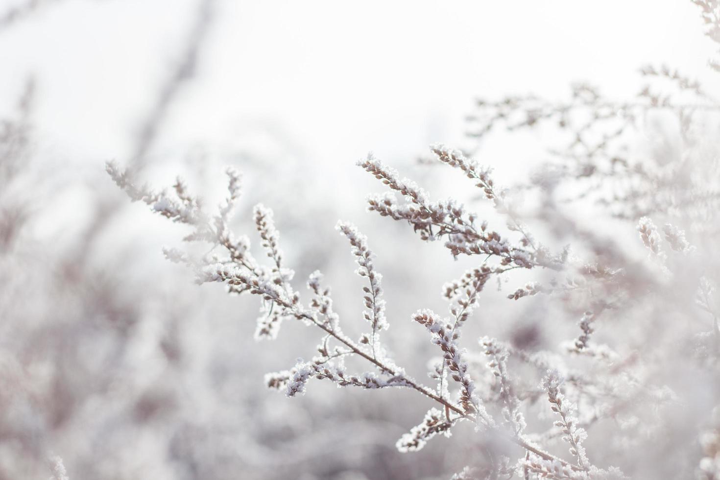 Snow-covered white petaled flower plant photo