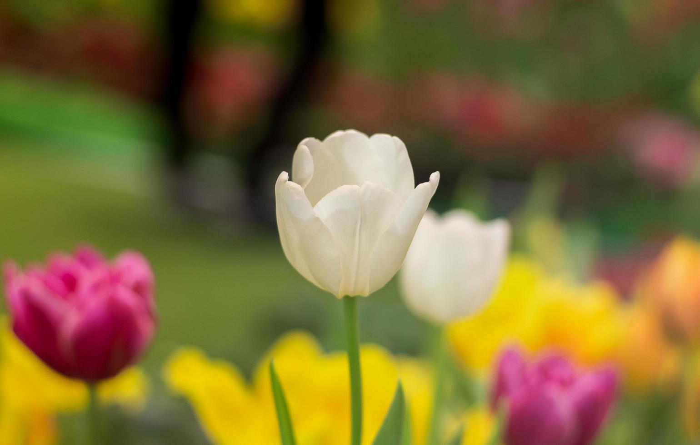 Tulip flowers in garden photo
