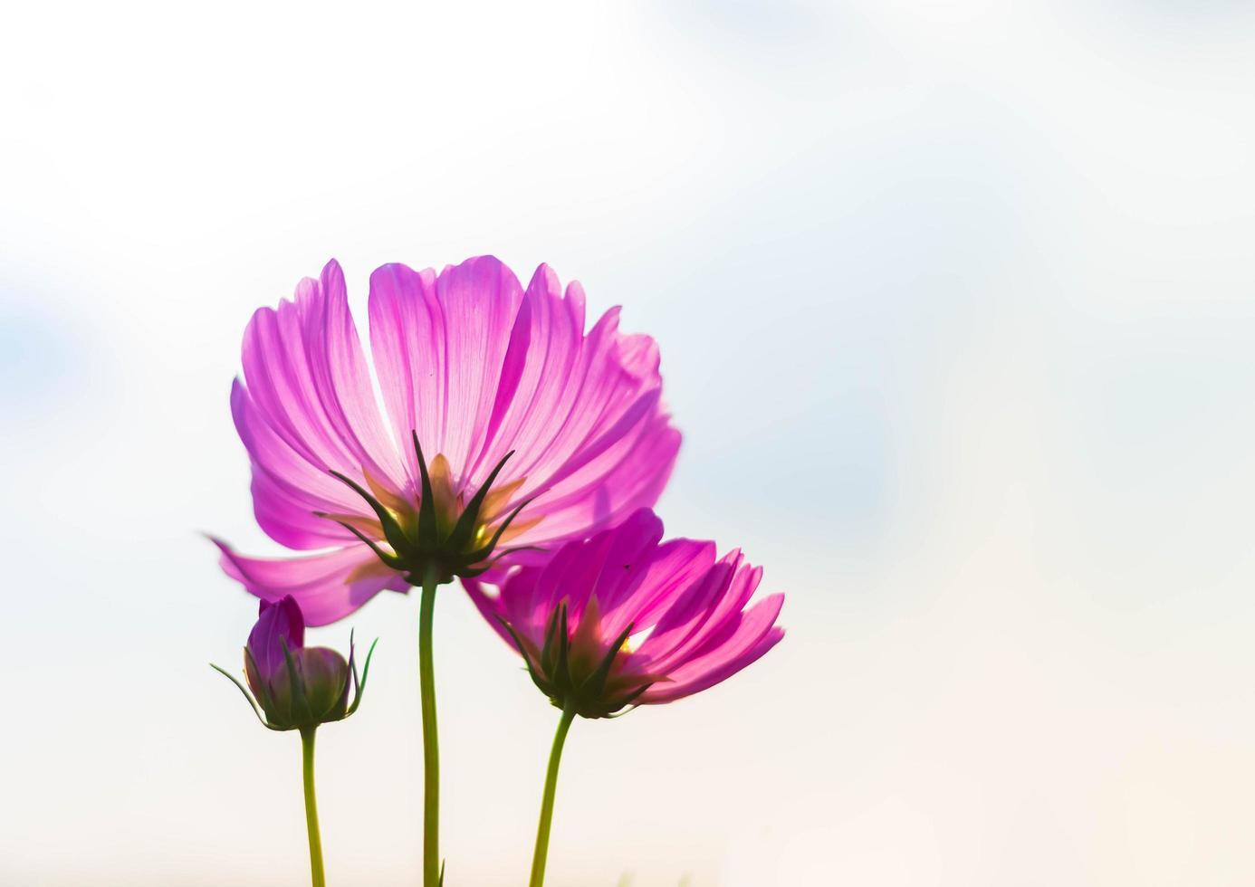 Pink cosmos flower in full bloom photo