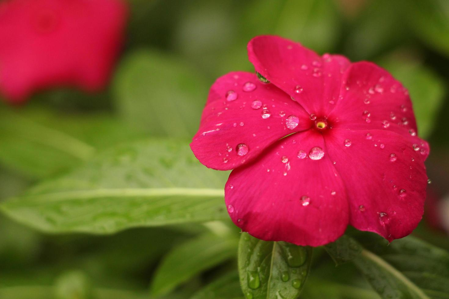 Red petaled flower with rain drops photo