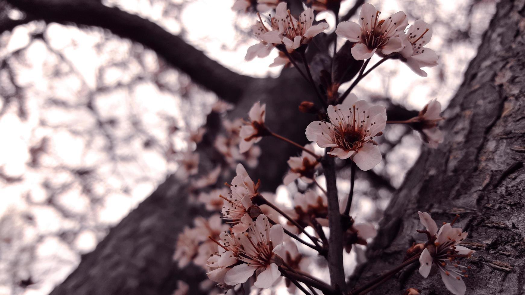Arbol de flor de cereza foto