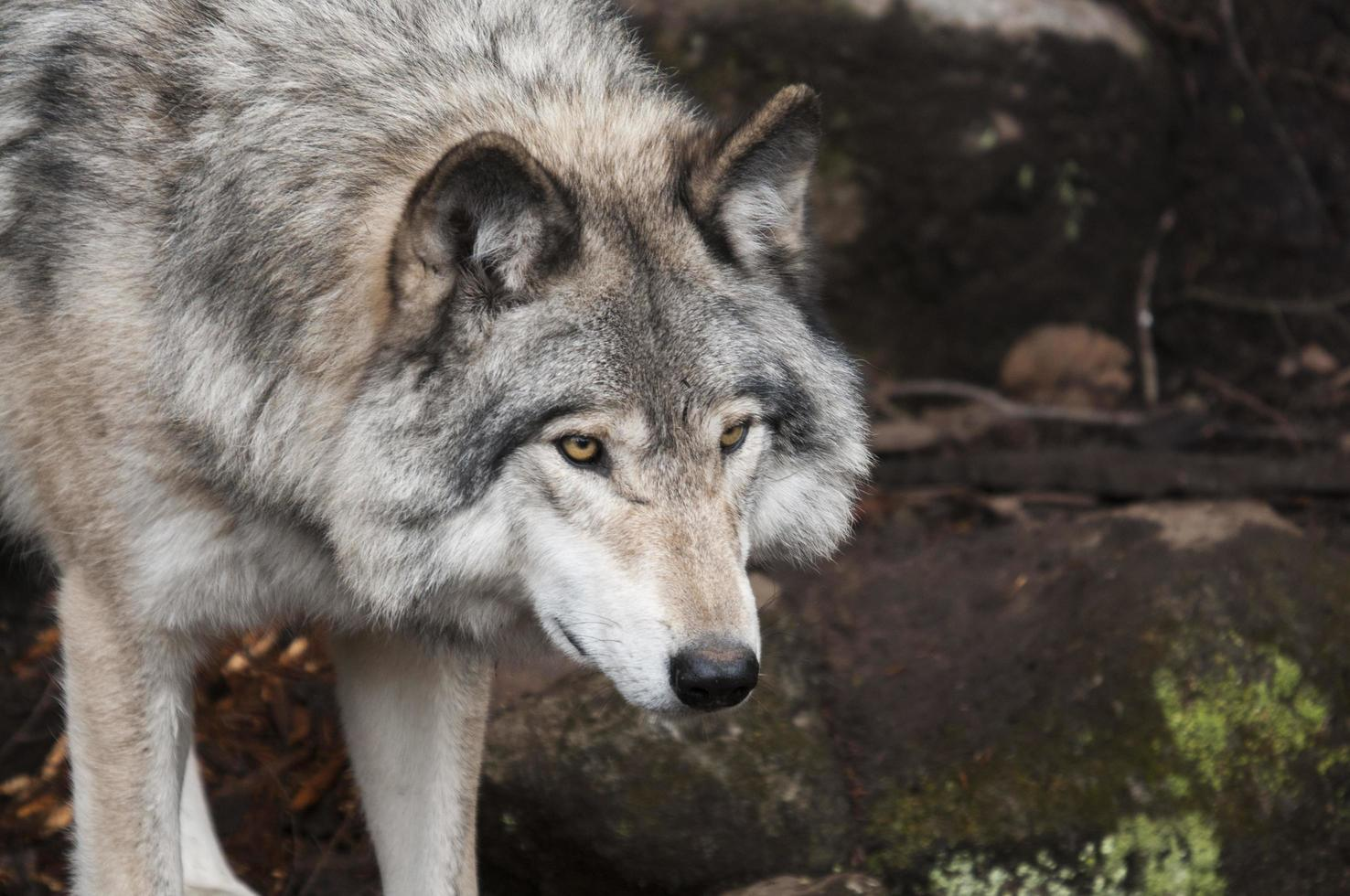 Wolf standing on stone photo
