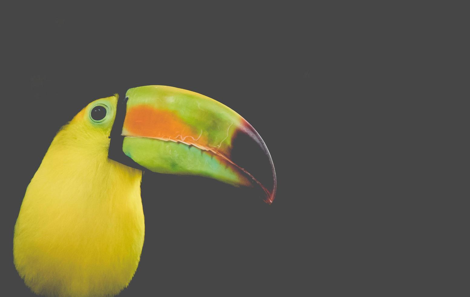 Toucan bird side profile photo