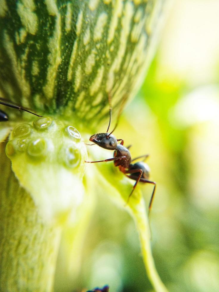 fotografía macro de una hormiga foto
