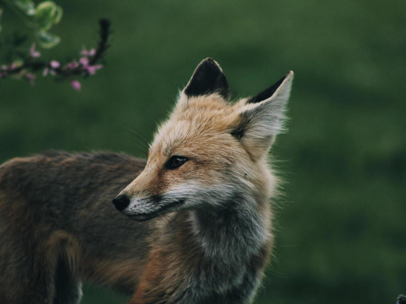 Red fox in the wild photo