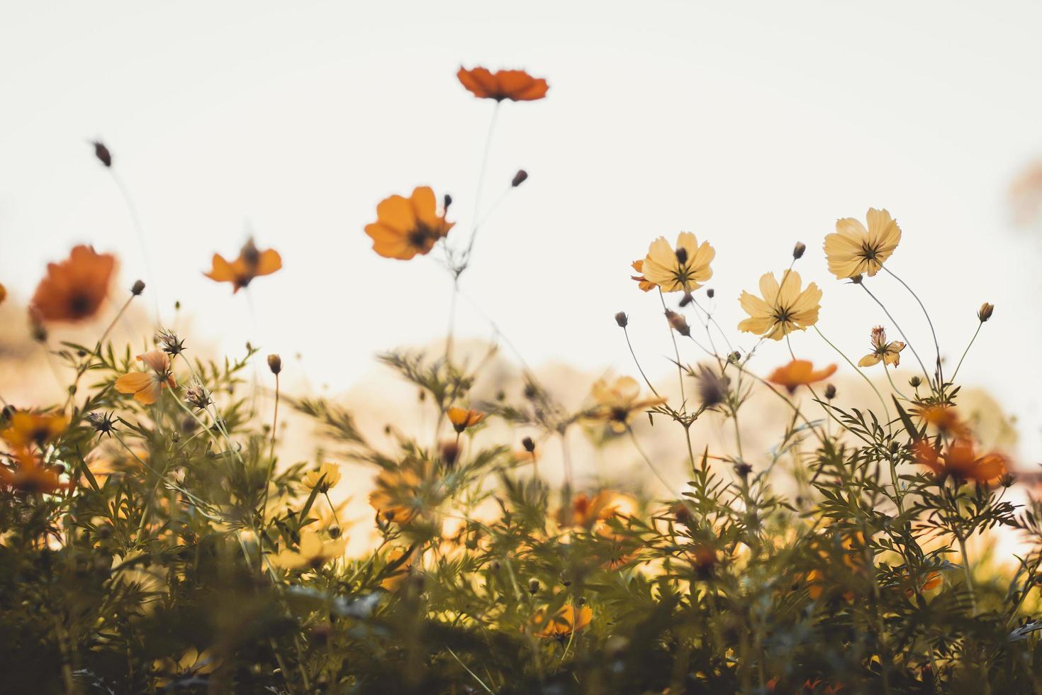 Yellow and orange cosmo flowers  photo