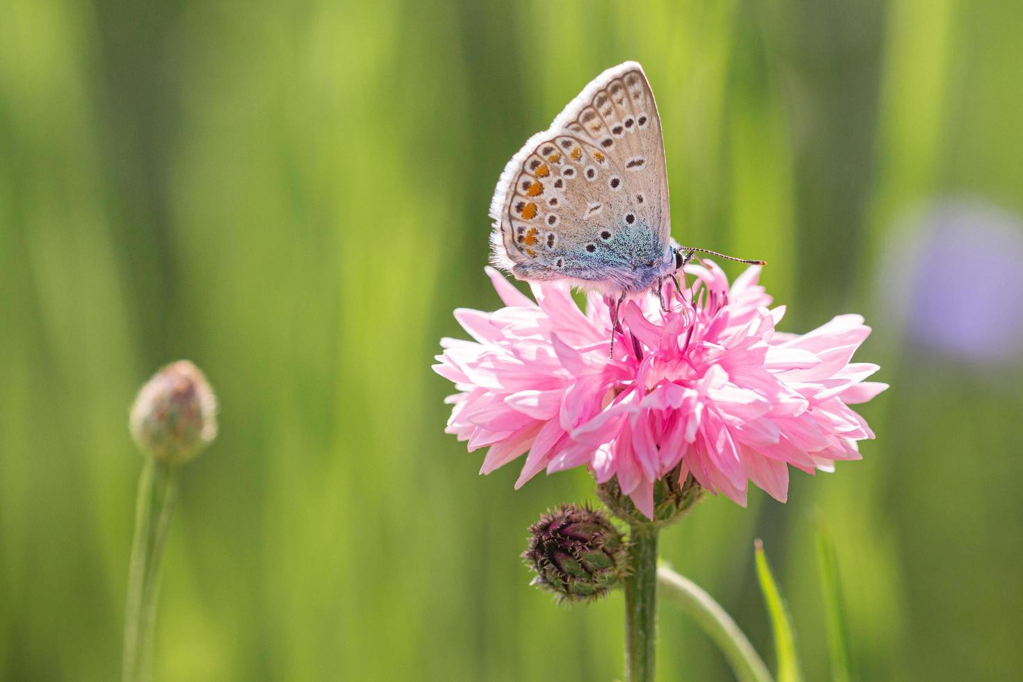 Brown and white butterfly on pink flower photo