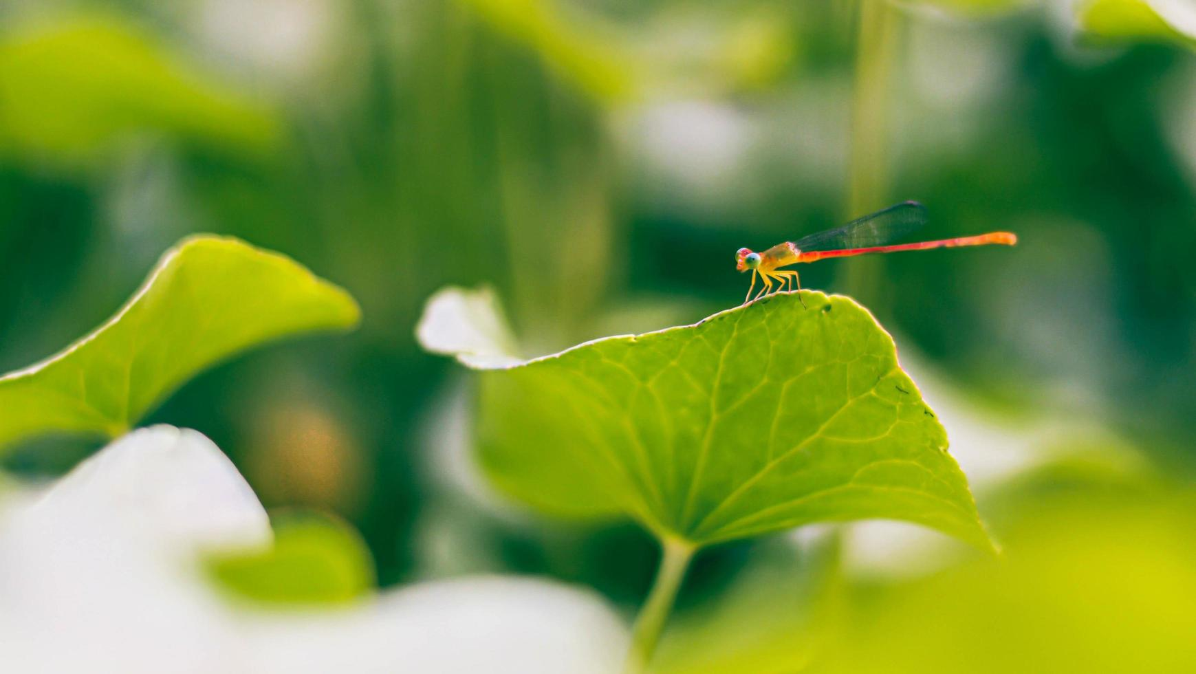 Dragonfly on green leaves photo