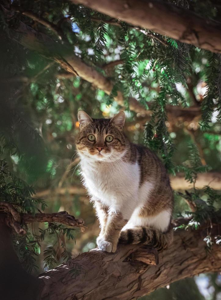 Brown and white tabby cat  photo