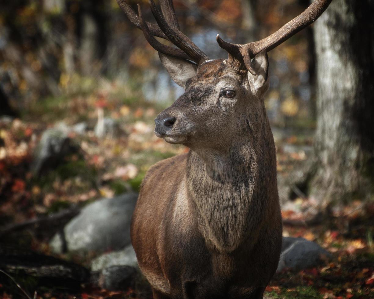 A deer looking sideways photo