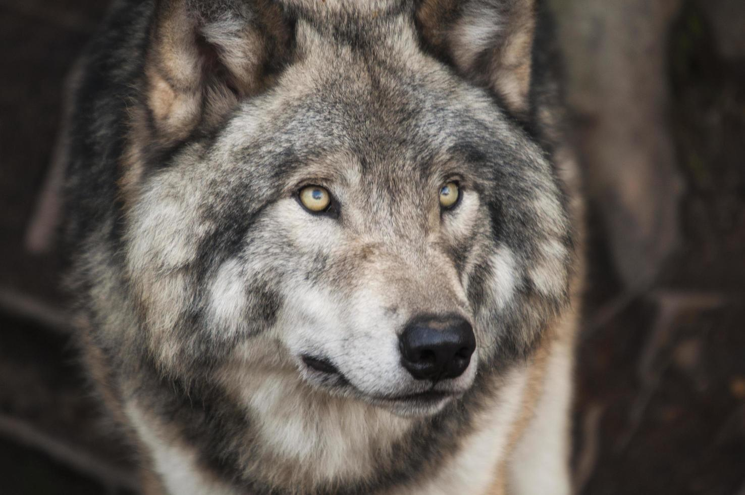 Gray and white wolf photo