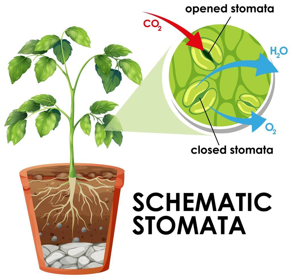 diagrama que muestra estomas esquemáticos vector