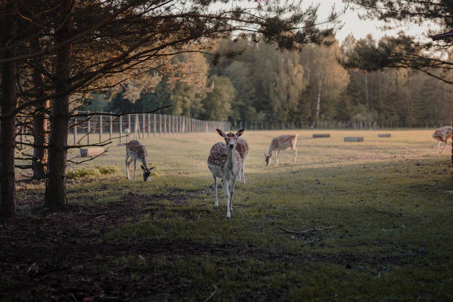 Brown deer approaches viewer photo