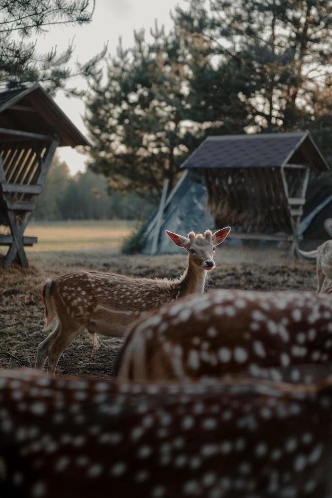 Brown deer standing near farm photo