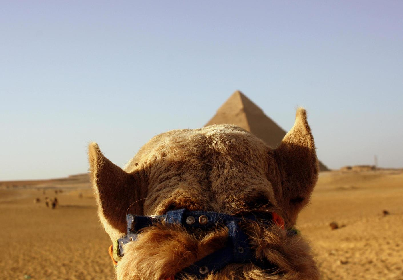 View of camel head in Egypt. photo