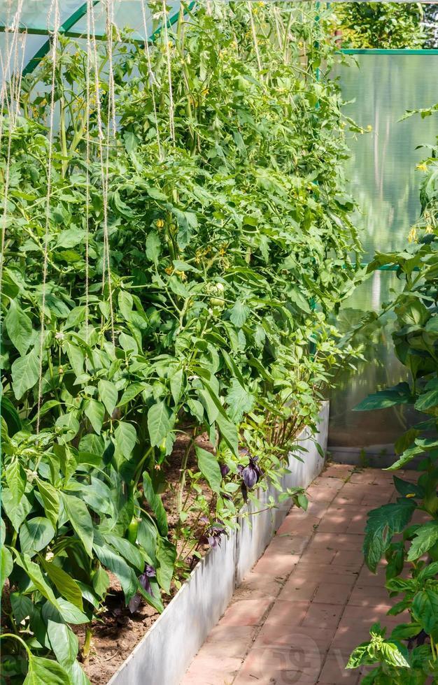 plántulas de tomate y pimiento foto