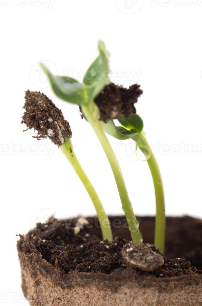 Sunflower seedling in a brown pot of peat photo