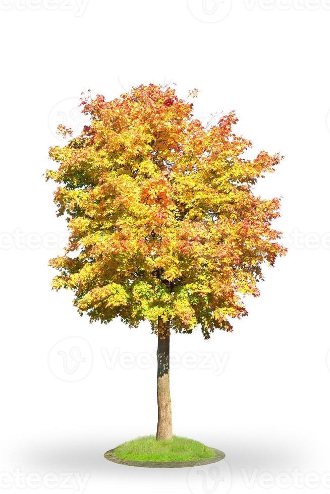 Norway maple in autumn photo