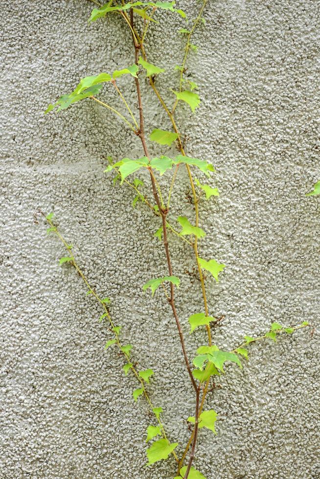 hojas de vid foto