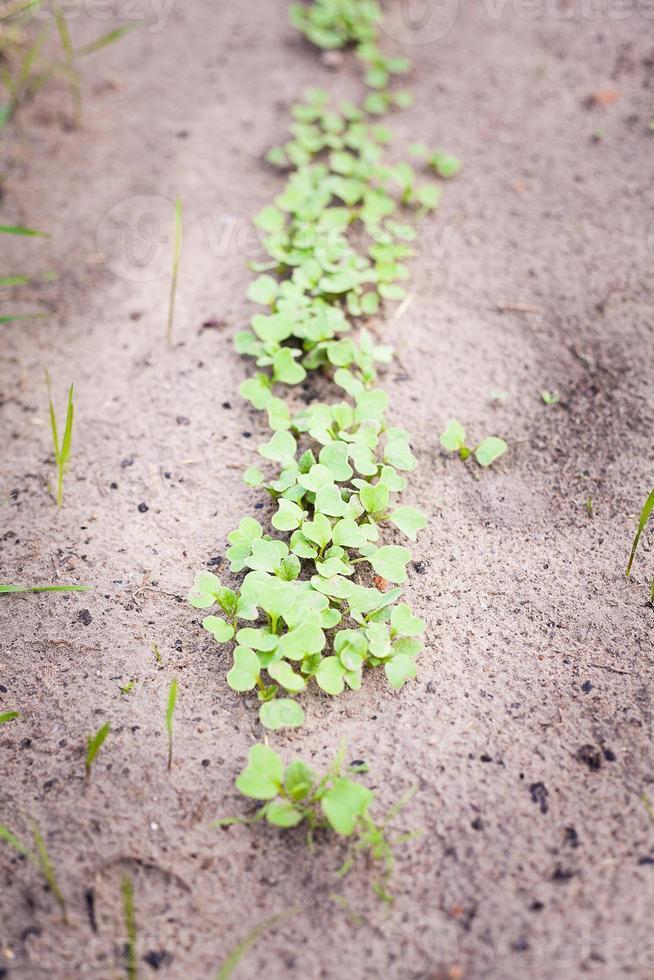 brote verde que crece de la semilla foto