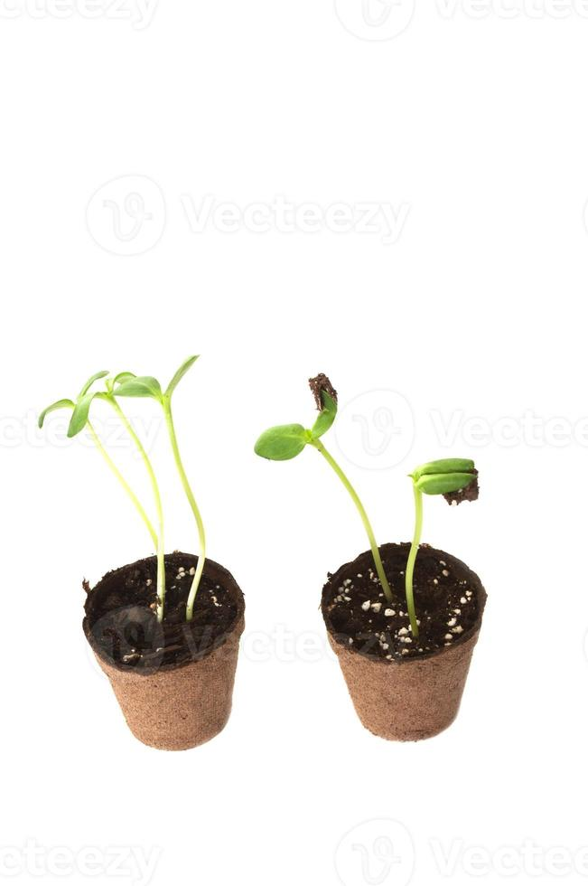 Two Sunflower seedling in a brown pot of peat photo
