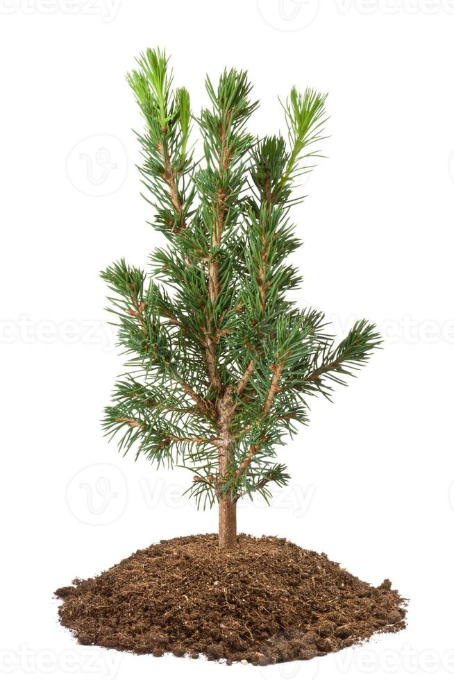 Young spruce sapling photo