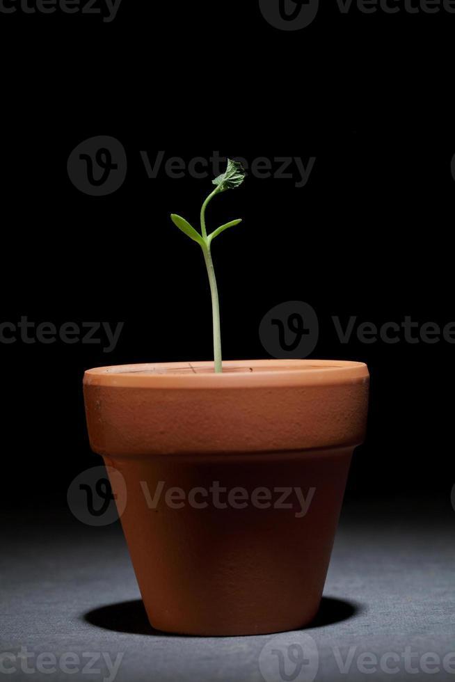 planta bebé que crece en una maceta pequeña foto